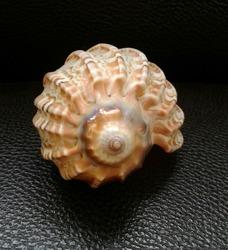 Seashell COMMON HARP SHELL; Scientific name: Harpa articularis Lamarck