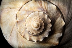 seashell conch reflection travel beach tropical island trip on black background reflection spiral nautical shellfish food summer spring texture clam vacation planing a trip getaway ocean beach natural
