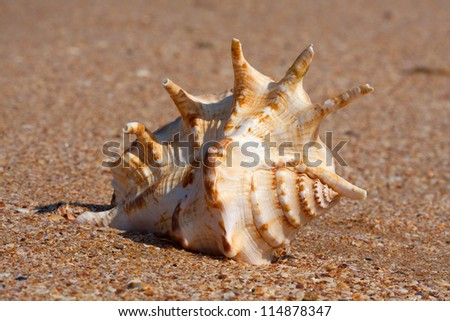 seashell on sandy beach