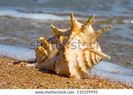 seashell on sea beach