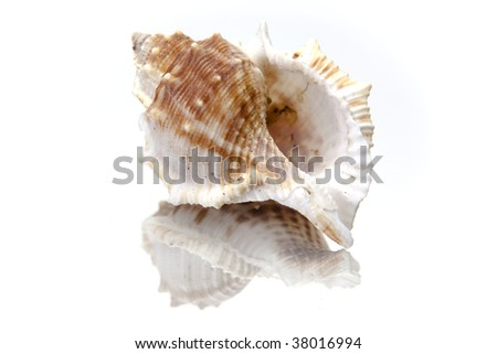 Seashell on White Background With Reflection