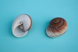 seashell, seashells isolated on a blue background, blue background with a beautiful seashell