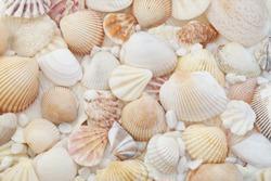 Seashells as background, sea shells collection