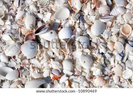 Seashells in mass on the beach on an island in florida