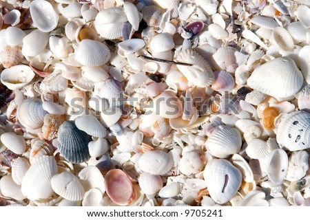 Seashells in mass on the beach on an island in florida