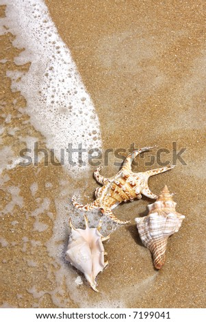 Seashells on the seashore.  Three ornate seashells on a sandy beach, with sea foam washing over them.  Lots of copy-space.