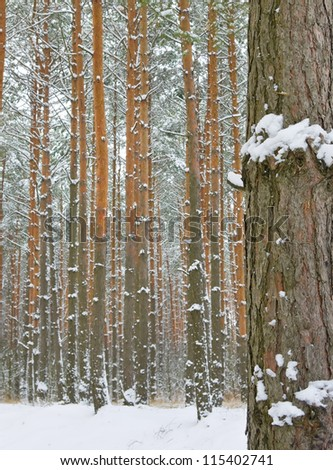 season is winter and winter forest