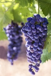 Season of the grapes. Bunches of black grapes. Vertical format