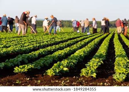 Seasonal agricultural field workers, imigrants, working the rich soil of a large commercial field crop at sunrise, Quebec, Canada. Foto stock ©