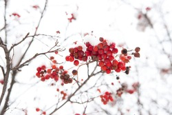 Seasonal berries. Christmas rowan berry branch. Hawthorn berries bunch. Rowanberry in snow. Berries of red ash in snow. Winter background. Frosted red berries. Frozen food. Climate control.