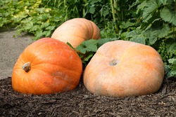 seasonal gardening - three giant orange pumpkins,symbols of Halloween and Thanksgiving,set on wooden chips in fall garden