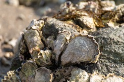 Seasonal harvesting of wild oysters shellfish on sea shore during low tide in Zeeland, Netherlands