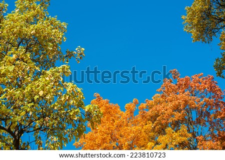 Seasonal nature background of a tree covered in colorful yellow fall or autumn foliage against a clear sunny blue sky