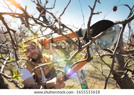 Seasonal pruning trees with pruning shears. Gardener pruning fruit trees with pruning shears. Taking care of garden. Cutting tree.