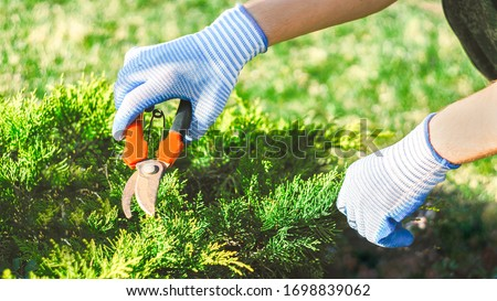 seasonal work in the garden. Gardener in work gloves cuts dry branches of thuja with shears. Pruning bushes. Cutting Branches at spring or autumn. hand holding garden red scissors. Garden farm work Stockfoto ©
