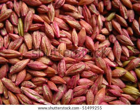 seasoned barley grain before sowing, background, texture