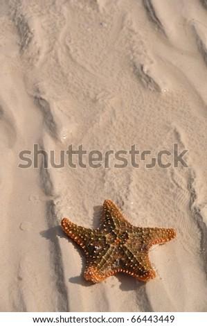 seastar at sandy beach