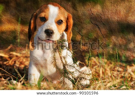 seated beagle puppy dog plays with bough  picture made in vintage style