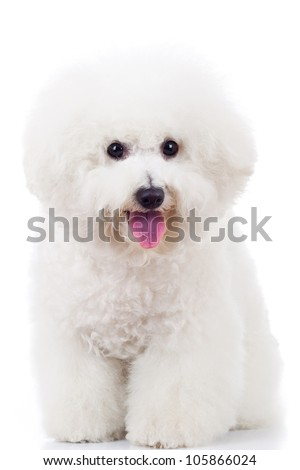 seated bichon frise puppy dog on a white background