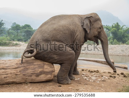 Seated elephant at an elephant nature park in Thailand. funny photo of Asian wild elephant seated by the stream.