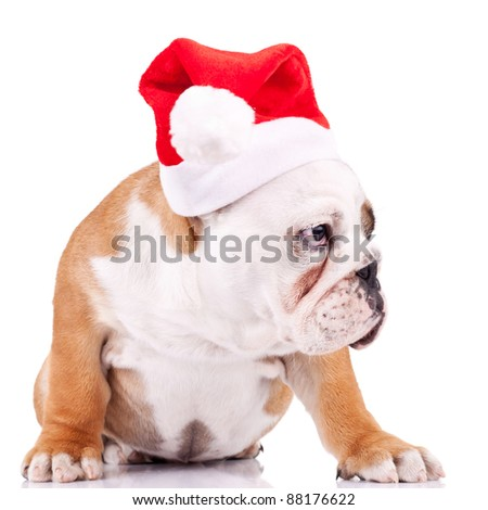 seated english bulldog puppy wearing a santa cap, and is curious about something at its side