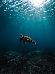 Seaturtle swimming at Playa Piskado, Curacao