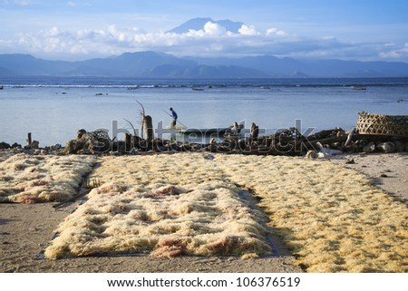 seaweed farmed along the coast of nusa lembingan opposite gunung agung volcano in bali indonesia