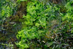 seaweed is one of the biological resources found in coastal and marine areas. algae. This sea weed can be used as a raw material for gelatin.