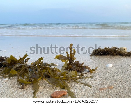 Seaweed, Kelp on beach with shells and sand. Seaweed. Green Seaweed laying on the beach. Kelp and Seaweed washed upon the shore.