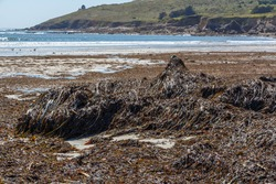 Seaweed landed on a beach at low tide in Brittany
