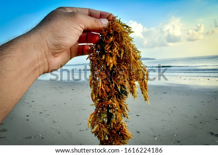 Seaweed on men's hands, the sea, and the beach on the background. Blue sky and sand on the background. Seaweed is picked up by hand. Fresh seaweed from the ocean.