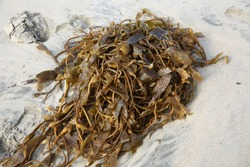 Seaweed. Seaweed laying on the beach. Kelp and Seaweed washed upon the shore in Huntington Beach California.