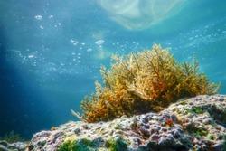 Seaweed, Seaweed Underwater, Seaweed Shallow Water near surface