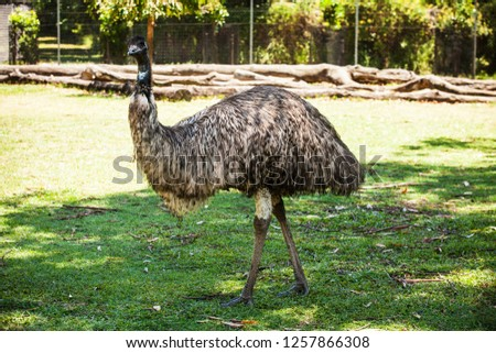 Second largest flightless bird the Emu at Lone Pine Koala Sanctuary, Brisbane, Queensland, Australia. December 2018.