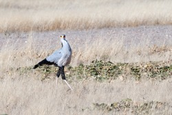 Secretary bird full body side view strutting through grassland and looking at the camera