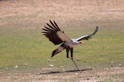Secretary bird (Sagitarius serpentarius), Kieliekrankie Wilderness Camp, Kgalagadi Transfrontier Park, Kalahari desert, South Africa