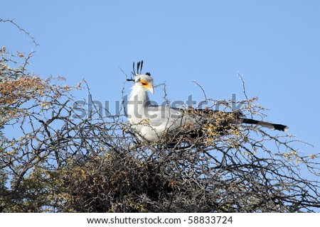 Secretary bird, Sagittarius serpentarius, roosting in a camel thorn tree in the Kgalagadi Transfrontier National Park in South Africa and Botswana. - stock photo
