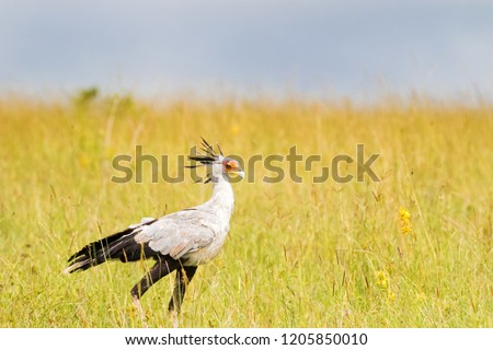 Secretarybird bird with black crest on head, long pink legs and black skirt waling in open grassland at Serengeti National Park in Tanzania, East Africa