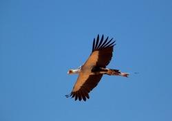 Secretarybird (Sagitarius serpentarius), Kgalagadi Transfrontier Park, Kalahari desert, South Africa.