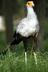Secretarybird, (Sagitarius serpentarius) Secretaire Serpentaire.