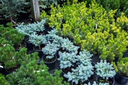 Section of conifers in the nursery-garden of ornamental plants for gardens, greenhouses, and interior design. Many different plants thujas, spruces, junipers, pines stand on the floor in pots.