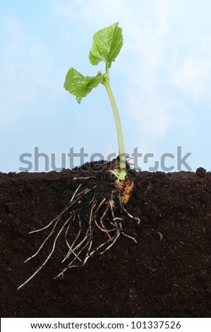 Sectional view of a runner bean seedling in soil showing the newly developed root and leaf system against a blue sky