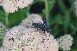 Sedum Flower Black Flower Wasp
