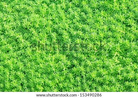 Sedum, green texture with dew drops under sunshine