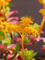 Sedum palmeri plant, with green-red leaves, arranged in rosettes and bright golden-yellow small star-shaped flowers, close up. Palmers sedum ornemental succulent in Crassulaceae family bloom in spring