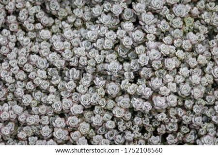 Sedum (spathulifolium 'cape blanco') succulents plants  Stockfoto ©