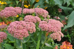 Sedum spectabile Brilliant blooms in the garden in autumn