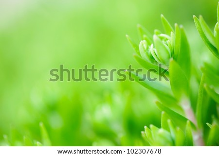 Sedum stonecrop in the garden - stock photo