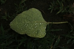 See the joy of nature when every drop of water shines like a pearl. Dying autumn leaves kissed by the shiny drops of rainy water. I think for a water drops, a most beautiful house is a leaf.