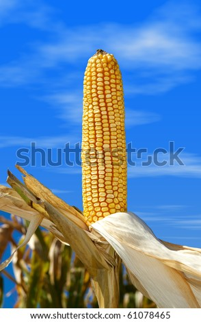 Seed corn with blue sky in the field